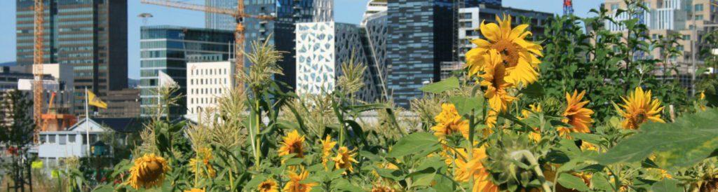 Urbane solsikker